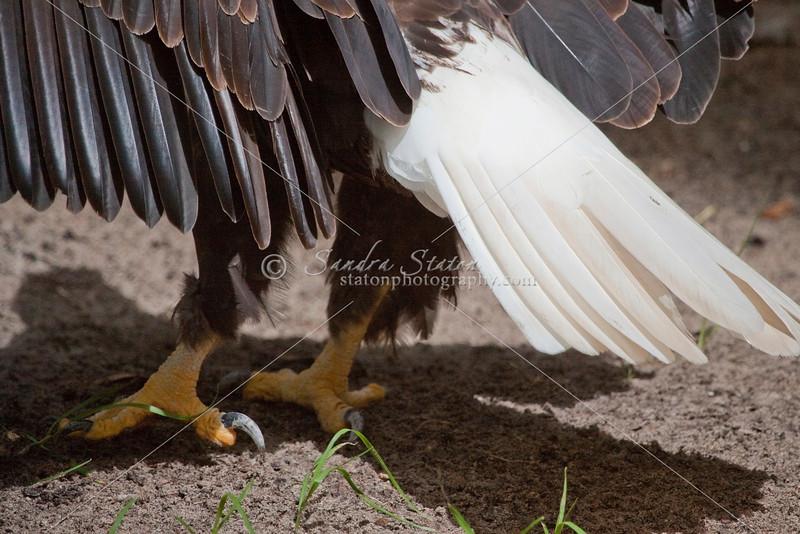 Bald eagle feet and tail