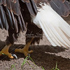 Bald eagle feet and tail