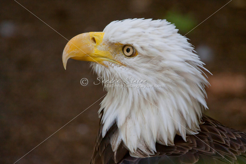 Bald eagle profile pose