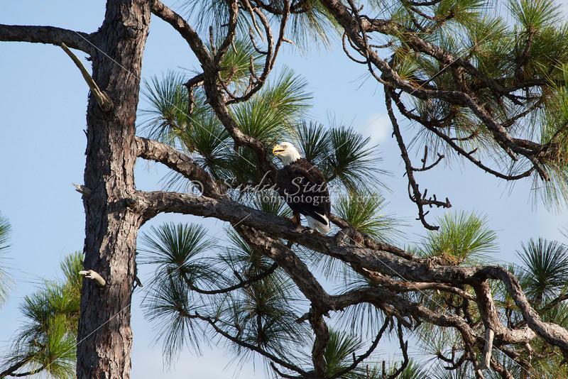 Bald eagle sitting in longleaf pine tree