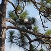Bald eagle sitting in longleaf pine tree