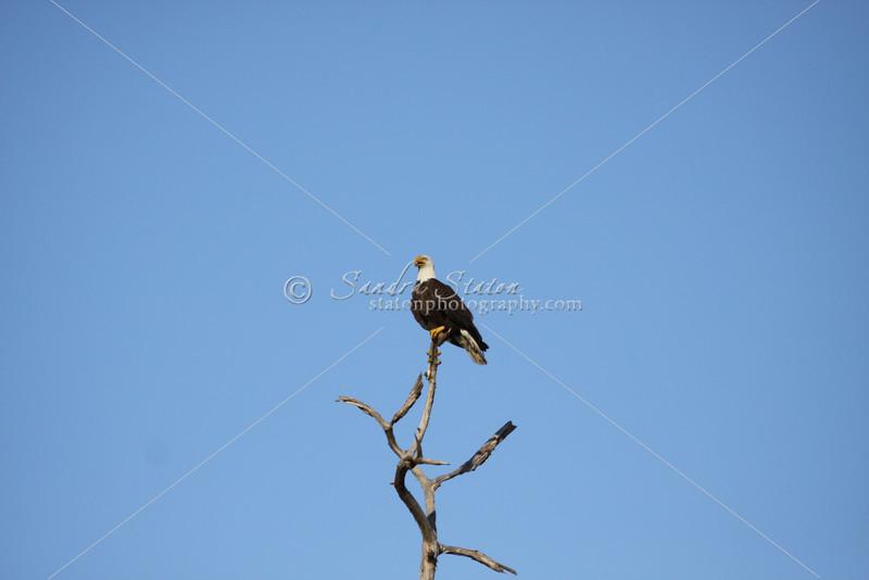 Mature bald eagle waits