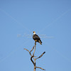 Mature bald eagle waits