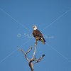 Mature bald eagle watches nest from afar in the top of a dead pine tree