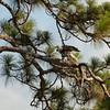 Bald eagle stretches its wings in pine tree