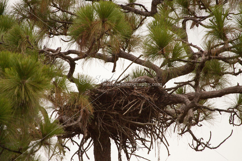 Bald eagle's nest in the forks of a tall pine tree.