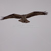 Osprey, fish eagle
