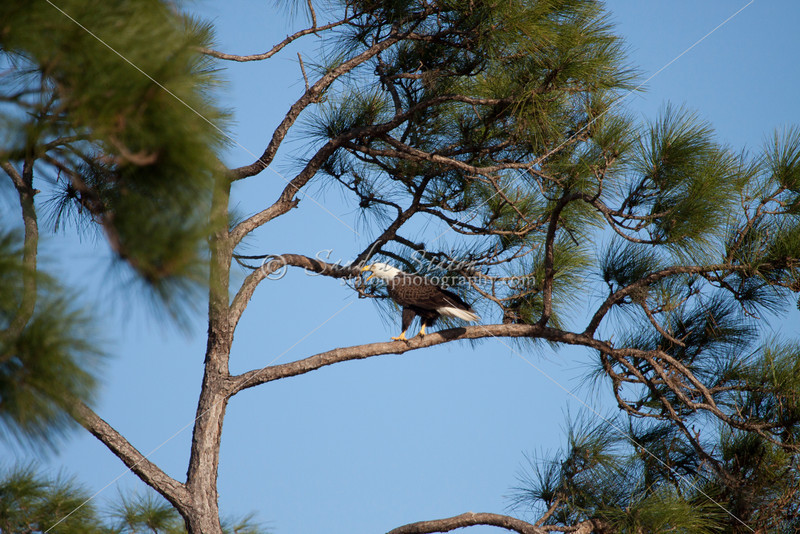 Bald eagle sitting in pine tree