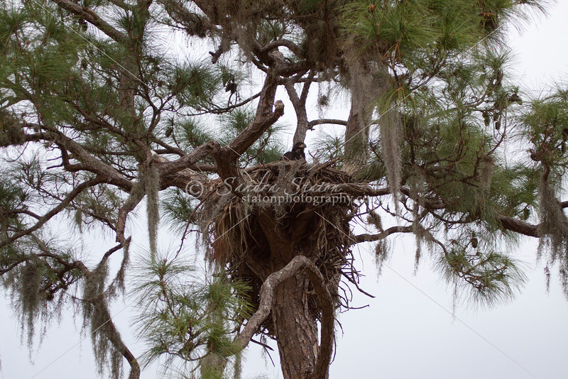 Bald eagle's nest with a chick in the forks of a tall pine tree.