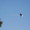 Mature bald eagle in flight
