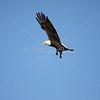 Bald eagle caught in flight