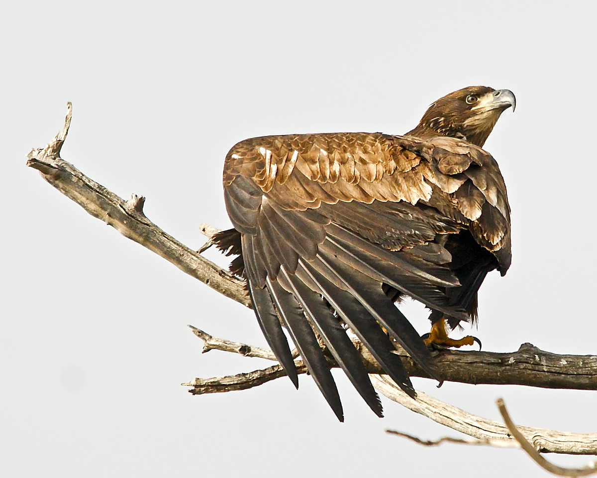 Immature Bald Eagle.  Bald Eagles don't get their white head until they 5 years old.
