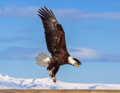 A favorite., Bald Eagle