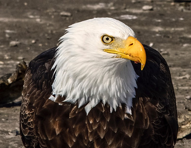 The Portrait. Bald Eagle