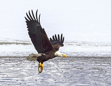 Bald Eagles are fish-eaters.  Very adapt at catching their own fish but would rather steal from another Bald Eagle or Osprey.