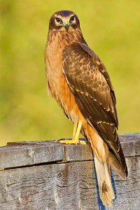 Raptor-Northern Harrier