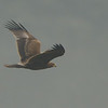 Here comes a larger Spotted Eagle