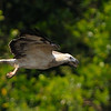 Juv. White-bellied Sea Eagle