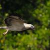 Juv. White-bellied Sea Eagle