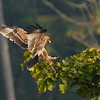 Booted Eagle at long distance