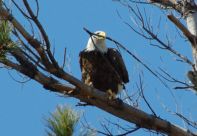 Eagles of the Ashokan Reservoir