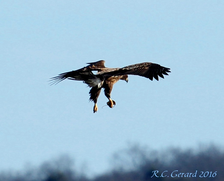 Immature Eagle landing with a mouse