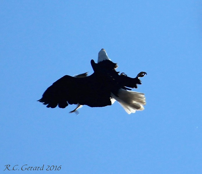 Mid-air collision of a Bald Eagle and a Hawk
