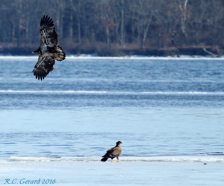 Immature Eagles