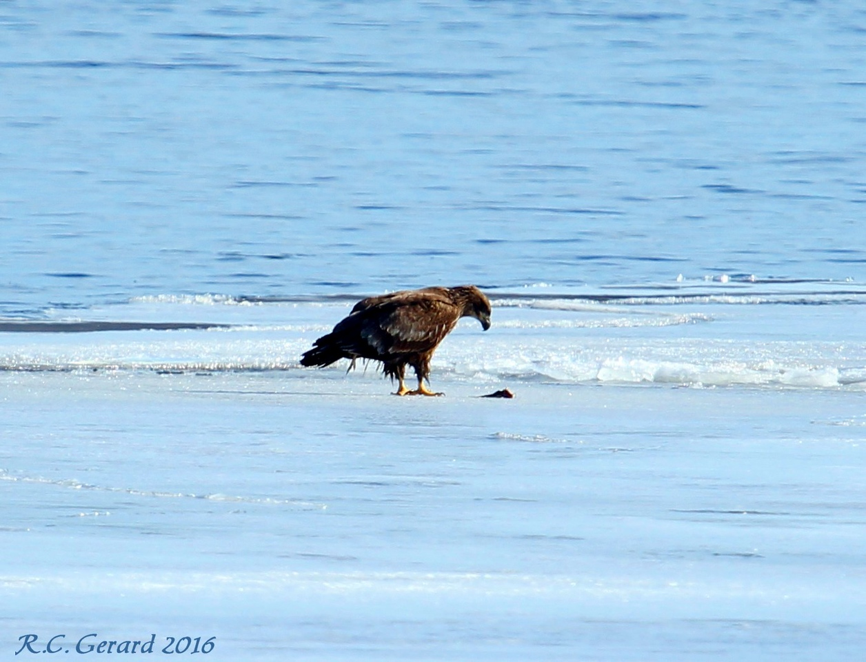 Immature Eagle having a mouse for lunch
