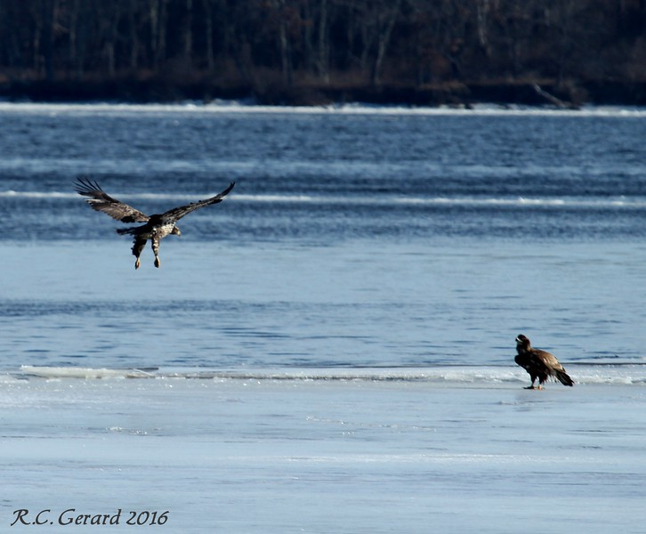 A challenge between Eagles for a mouse