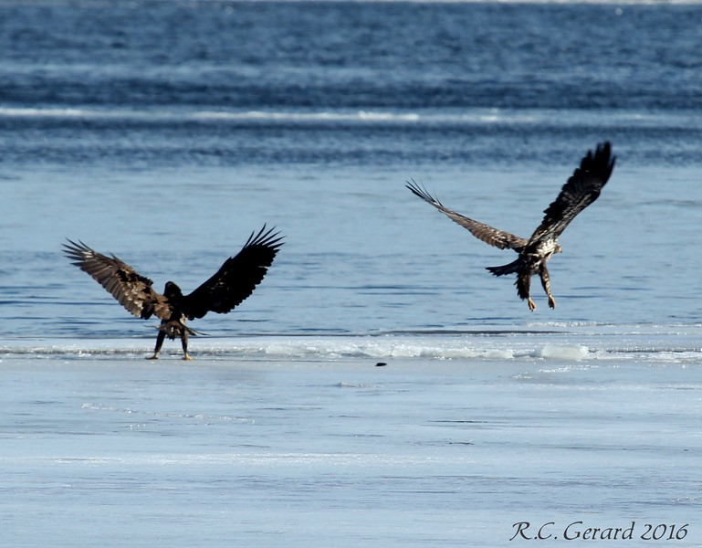 A challenge between Eagles for a mouse.