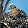 Medina Marsh Eagle nest April 2017  0296