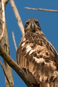 Bald Eagle (2 -3 years old?)