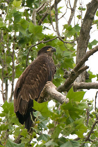 Immature Bald Eagle - estimating 7 to 8 weeks old