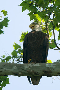 Bald Eagle - High Banks Park, Ohio