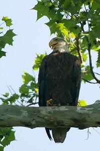 Bald Eagle - High Banks Park, Ohio