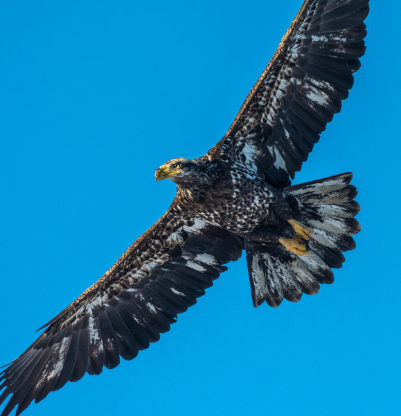 Immature bald eagle