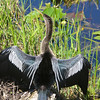 Anhinga in the Everglades<br /> Copyright 2012, Tom Farmer