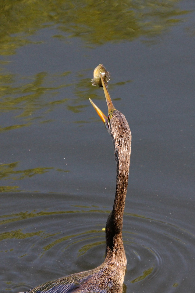 Anhinga with speared fish, Everglades<br /> Copyright 2012, Tom Farmer