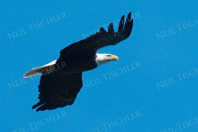 #1704  Bald Eagle, adult, in flight  Picture taken from a kayak on Nashua River, near Groton, MA on 4/29/20.  Eagle was close to its nest in the top of a pine tree.