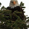 Eagles : Bald Eagles