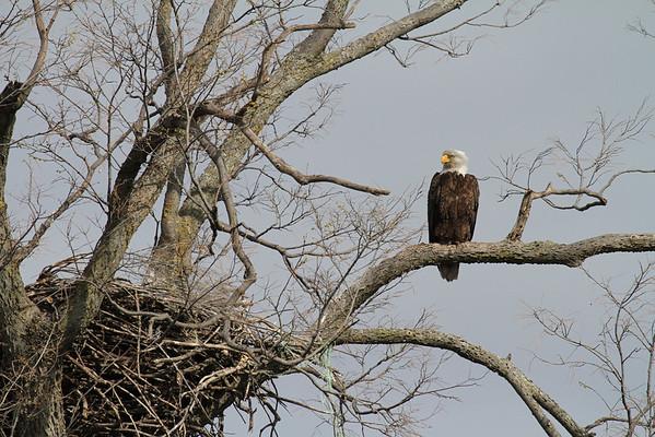 Bald Eagle And Nest At A Farm (Haliaeetus leucocephalus)