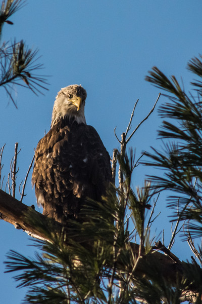 Bald Eagle at Deer Island