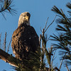 Bald Eagle at Deer Island