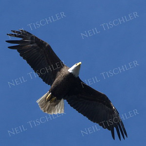 #1688  Bald Eagle, adult, in flight  Picture taken from a kayak on Nashua River, near Groton, MA on 4/29/20.  Eagle was close to its nest in the top of a pine tree.