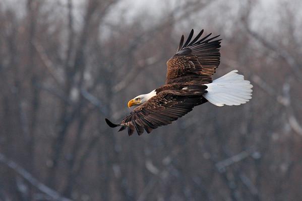 Bald Eagle (Haliaeetus leucocephalus) Gini's Eagle