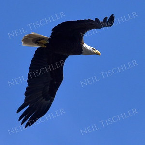 #1706  Bald Eagle, adult, in flight  Picture taken from a kayak on Nashua River, near Groton, MA on 4/29/20.  Eagle was close to its nest in the top of a pine tree.