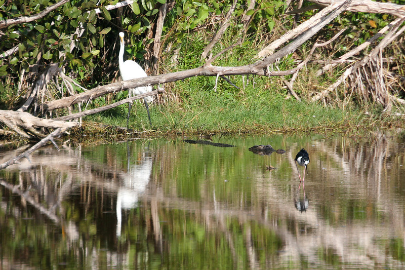 Great White Heron, Crocodile, and Black-Necked Stilt in Everglades<br /> Copyright 2012, Tom Farmer