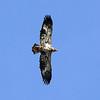 Bald Eagle (2nd Year)