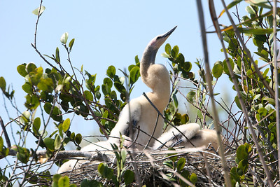 Anhinga chicks in nest, Everglades Copyright 2012, Tom Farmer